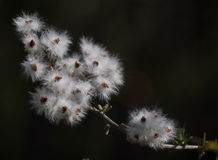 Natural seed dispersal Royalty Free Stock Image