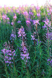 Wild flower Willow-herb in the evening field Royalty Free Stock Photography