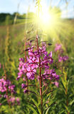 Wild flower of Willow-herb in the sunlight Royalty Free Stock Photo