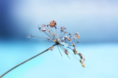 Wild flower in winter. On blue background Royalty Free Stock Photos