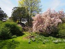 Wild flowering cherry blossom Stock Photo