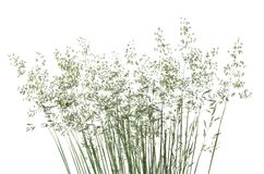 Wild flowering grass. Macro of blooming wild grass Poa annua isolated on white background Royalty Free Stock Photos