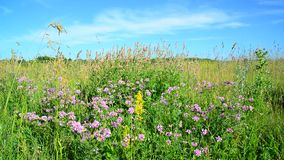 Wild flowering meadow in central strip of Russia. Wild flowering meadow in the central strip of Russia stock footage