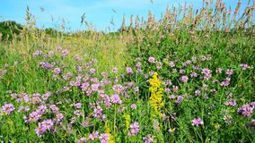 Wild flowering meadow in central strip of Russia. Wild flowering meadow in the central strip of Russia stock video