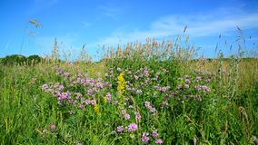 Wild flowering meadow in Russia. Wild flowering meadow in the central strip of Russia stock video footage