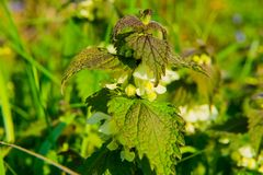 Wild flowering nettle in spring, sunlight, macro royalty free stock photos