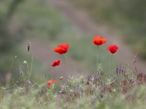 Wild flowering poppies stock image
