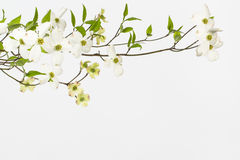 Wild flowering white dogwoods. Branch with large white blossoms on wild dogwood tree in North Carolina. Close up imagewith white background. Likely cornus stock photo