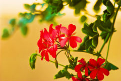 Wild flowers. Wild red flower after big rain in sunny day Royalty Free Stock Images