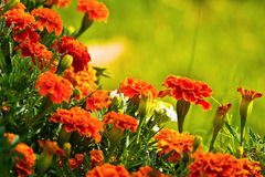 Wild flowers. Wild red flower after big rain in sunny day stock photo