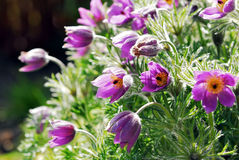 Wild Flowers. Purple Wild Flowers Blossoming in spring seasons Royalty Free Stock Photo