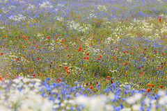 Wild flowers Royalty Free Stock Photos