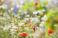Wild flowers Royalty Free Stock Image