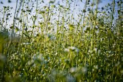 Wild Flowers. White wild flowers swaying in breeze, slightly blurred motion, green stems and vegetation Royalty Free Stock Photo