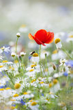 Wild flowers. Abundance of blooming wild flowers on the meadow at spring time Stock Images