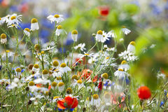 Free Wild Flowers Royalty Free Stock Photography - 23108997