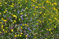 Wild Flowers Stock Photography