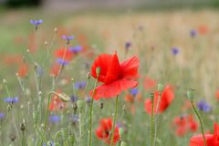 Wild flowers. Poppies and wild flowers in a meadow Royalty Free Stock Photos