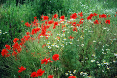 Wild flowers. Red poppies and daisies in green nature Royalty Free Stock Photo