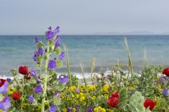 Wild flowers. At the beach Royalty Free Stock Images