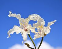 Wild flowers from Africa - Super White Coffee Bush Flower Royalty Free Stock Image