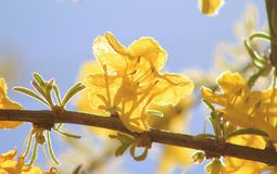 Wild flowers - African Golden Surprise of Spring 4 Royalty Free Stock Photo