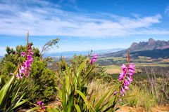 Wild flowers against blue mountains. And sea. Shot near Landdroskop, Hottentots-Holland Mountains nature reserve, near Somerset West, Western Cape, South Africa Royalty Free Stock Image
