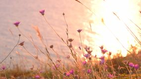 Wild flowers against calm sea water stock video footage