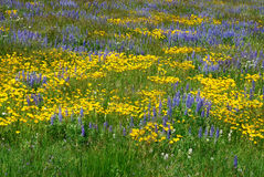 Wild flowers on alberta prairie Stock Images