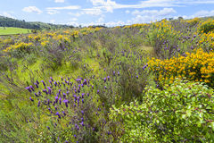 Wild flowers in Algarve Portugal Stock Images