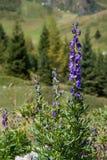Wild Flowers in the Alps Stock Photo