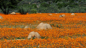 Wild flowers and anthills in Namaqualand, South Africa Stock Photo