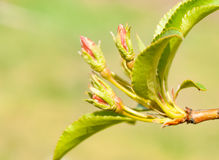 Wild flowers of apple Royalty Free Stock Photography