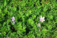 Wild flowers in Apuseni Mountains, Transylvania Royalty Free Stock Photos