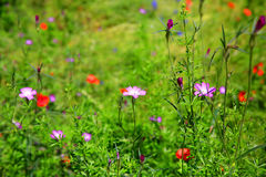 Wild flowers backgound Royalty Free Stock Photos