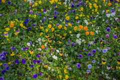 Wild flowers background Royalty Free Stock Photography
