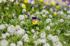Wild flowers background Royalty Free Stock Images