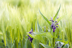 Wild flowers in a barley field Stock Photos