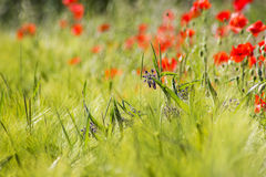 Wild flowers in a barley field Royalty Free Stock Image