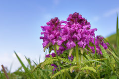 Wild flowers Bavaria Alps Royalty Free Stock Photography