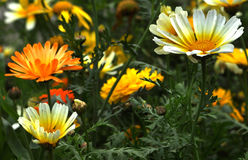 Wild flowers. Beautiful wild flowers in the garden Stock Photography