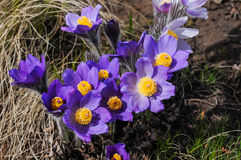 Wild flowers. Beautiful wild flowers growing in the desert Stock Images
