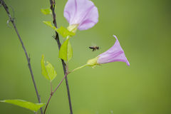 Wild flowers and the bee. Bee flew up to the field flowers to collect the nectar Stock Images