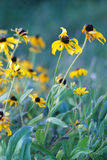 Wild Flowers. Black-eyed susans growing wild in a meadow Royalty Free Stock Photo