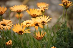 Wild flowers in bloom. In the western cape south africa Stock Photo