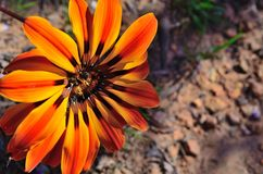 Wild flowers in bloom. In the western cape south africa Royalty Free Stock Photos