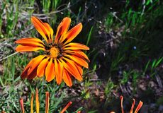 Wild flowers in bloom. In the western cape south africa Royalty Free Stock Image