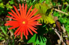 Wild flowers in bloom. In the western cape south africa Stock Photography