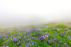 Wild flowers blooming in the fog Royalty Free Stock Images