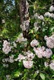 Wild flowers blooming in forest. Mountain Laurel Kalmia latifolia in bloom on a spring morning. Blue Ridge Parkway, North Carolina, USA stock image